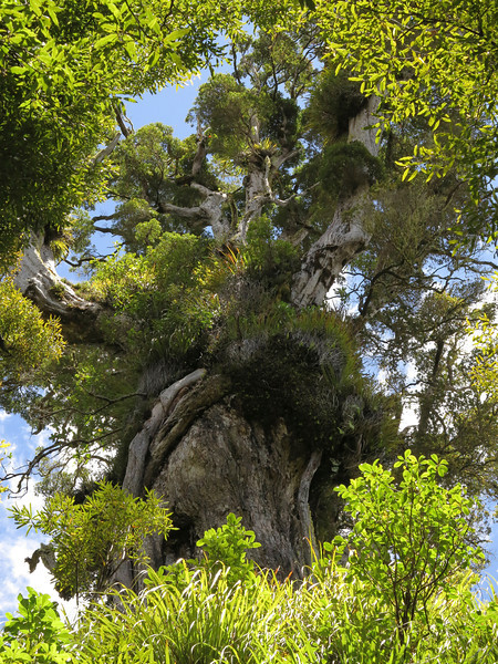 Enormous rata tree above Lake Waikaremoana, Te Urewera National Park
