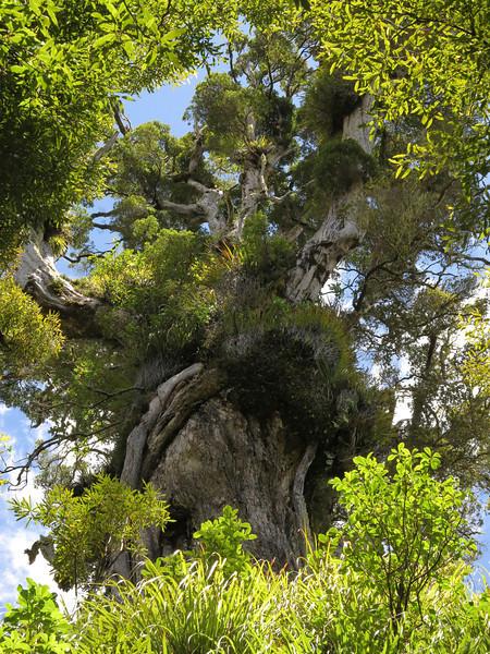 Enormous rata tree above Lake Waikaremoana, Te Urewera National Park