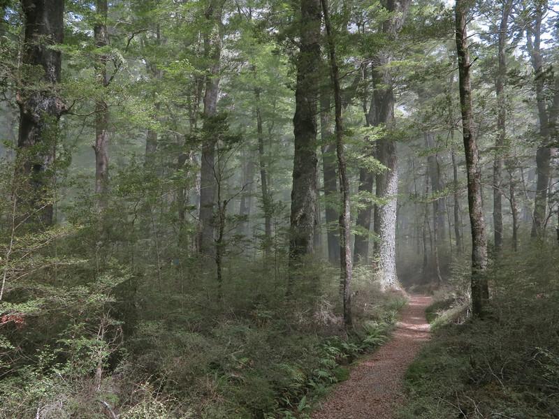 Red Beech (Nothofagus fusca) forest near Chinamans Bluff