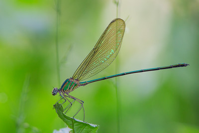 green backdrop metallic green dragonfly