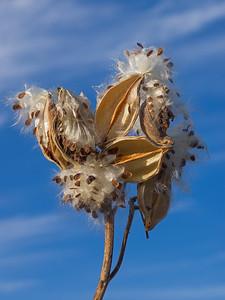 blue sky milkweed