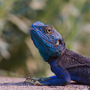 blue-headed tree agama staring at photographer