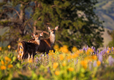 Mommy Deer.  Coincidentally taken on mother's day.  Mother and two calfs; the second is hidden behind its mother.