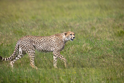 striding cheetah