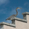 Sandcastle visitor, Jetties<br /> Blue Heron