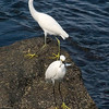 Egrets having lunch. At the Jetties, Venice FLorida