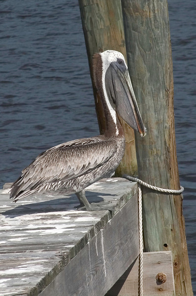 Checking us out..  Pelican