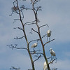 Egrets resting place. North Jetties
