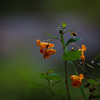 Impatiens capensis, jewelweed