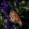 monarch salvia