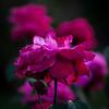 rose Elizabeth Park