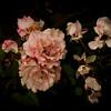 rose tuscan sun