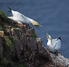 Squabbling gannets at Troup Head on Saturday 3rd September 2016