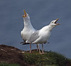 Gulls at Troup Head on Saturday 3rd September 2016
