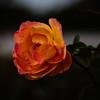 rose strike it rich