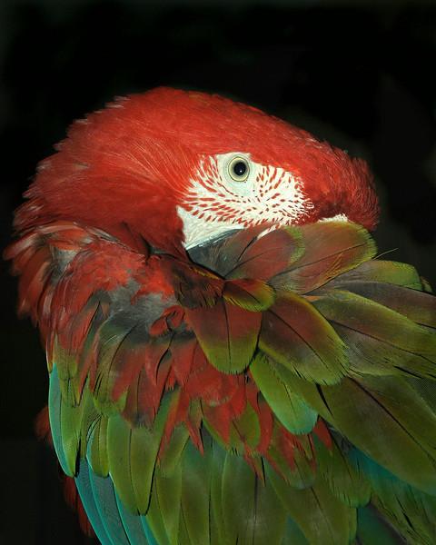 Tango, Greenwing Macaw
