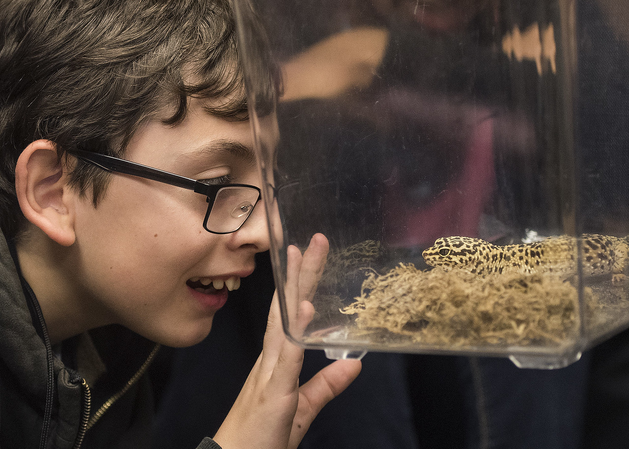 Boulter Middle School sixth grader Kevin Lizalde gets an up-close view of a leopard gecko named Leonard during a field trip at the Caldwell Zoo in Tyler Tuesday May 23, 2017.  (Sarah A. Miller/Tyler Morning Telegraph)