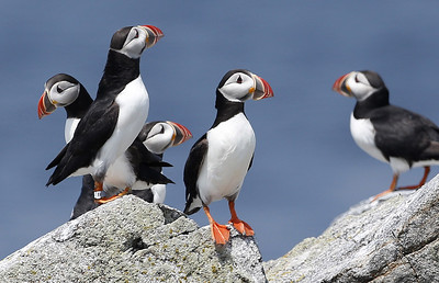 Puffin Baby Boom