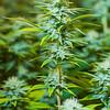 Reno Photographer Marcello Rostagni Photographs Cannabis plant in Grow Room.