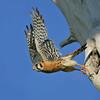 American Kestrel leaving the nest cavity