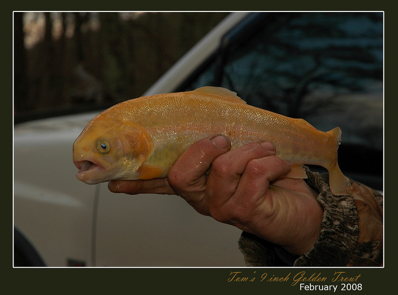This golden rainbow trout was Tom's first trout fished from the fresh rivers of West Virginia.  Unfortunately, luck wasn't on our side during mid-February 2008:  Between three of us, we only fetched 4 fish.  We still managed to have a little fish fry with some tasty hushpuppies.