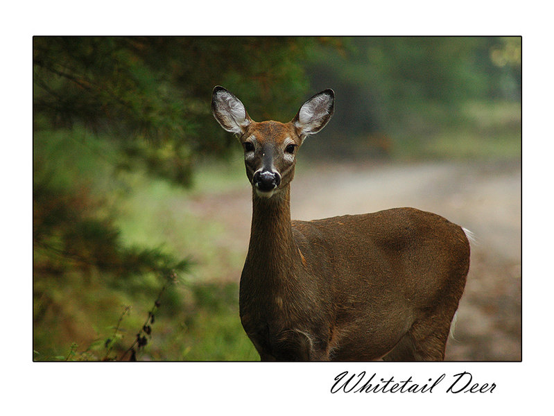 Whitetail deer, along with other wildlife, can usually be spotted early in the morning or late in the afternoon around the immediate area of the cabin.  During this early morning hike in October 2006, I saw numerous deer.  This one seemed to like the camera.