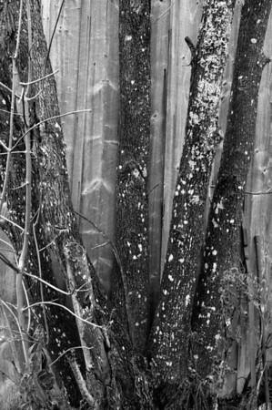 Tree Trunks by Wall