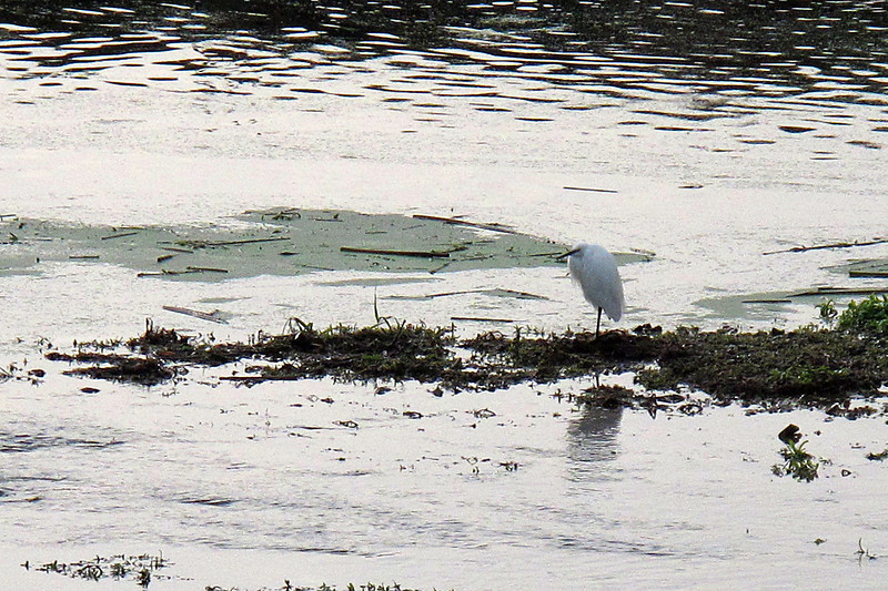 An Egret waits patiently