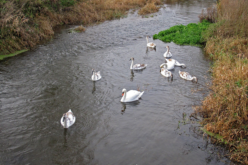 Two parent Swans with a large brood of Cygnets.