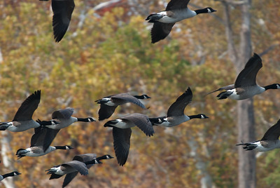 Canada geese in formation.