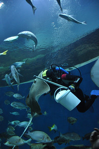 The diver getting personal attention from one of the rays.