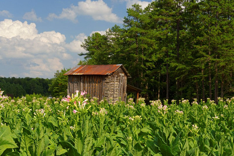 Tobacco in bloom, Highway 86 in North Carolina