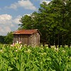 Tobacco in bloom, Highway 86 in North Carolina