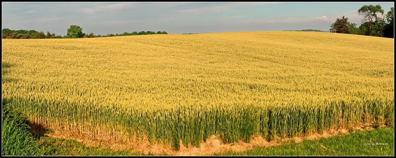 Wheat Field, Highway 33