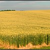 Wheat Field, Highway 33