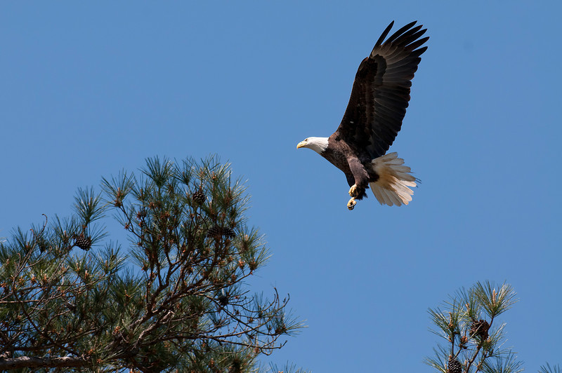 Eagles at Shiloh National Battlefield