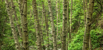White Alder Trees in Big Santa Anita Canyon San Gabriel Mountains Southern California