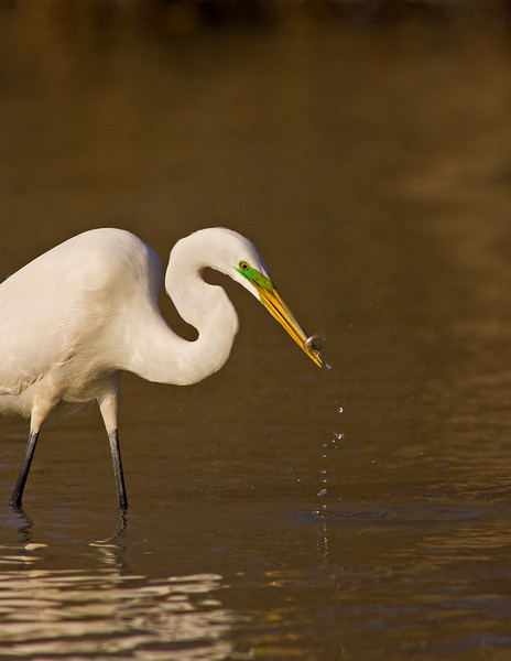 Great Egret ( Breeding Plumage )