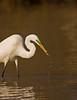 Great Egret ( Breeding Plumage )