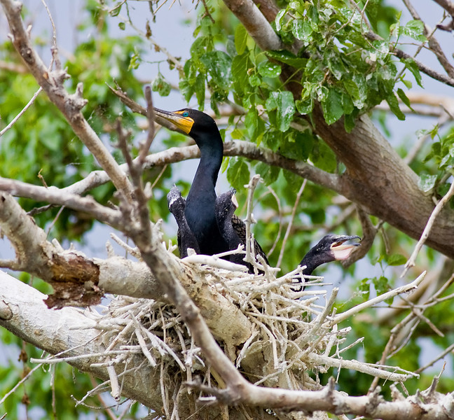 Double-crested Cormorant (on nest)