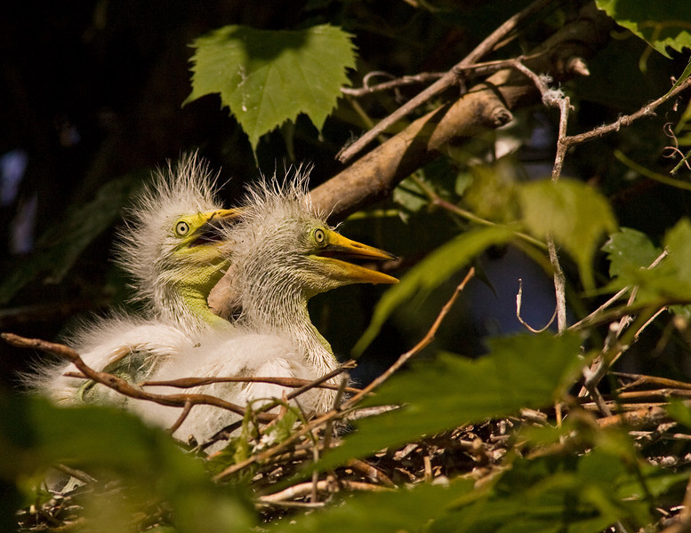 Juvenile Great Egret