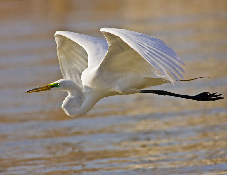 Great Egret ( Breeding Plumage)