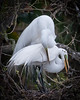 Birds: Nest Building & Display Great Egret Pair #2