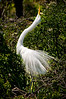 Birds: Nest Building & Display Great Egret #1