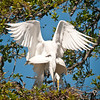 Birds: Nest Building & Display Great Egret Pair #1