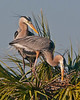 Birds: Nest Building & Display Great Blue Heron Pair #5