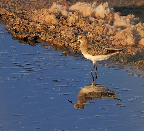Shorebirds, Waders & Other Water Birds