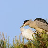 Black-crowned Night Heron with Cattle Egret in background.
