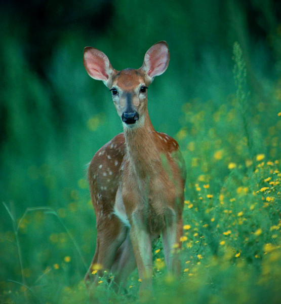Fawn in sunflowers