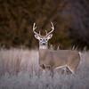 8 pt Buck Looking Left
